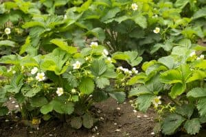 are-strawberry-leaves-edible