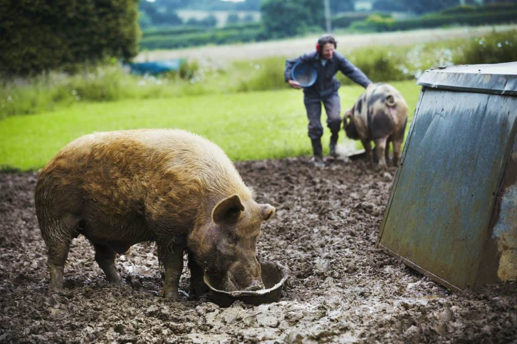 pigs-are-food-driven