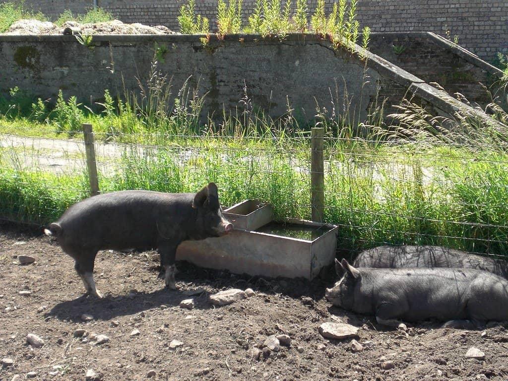 berkshire-pig-breeds-for-beginners