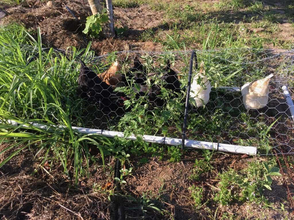 how-to-keep-chickens-out-of-my-yard-chicken-wire-fence