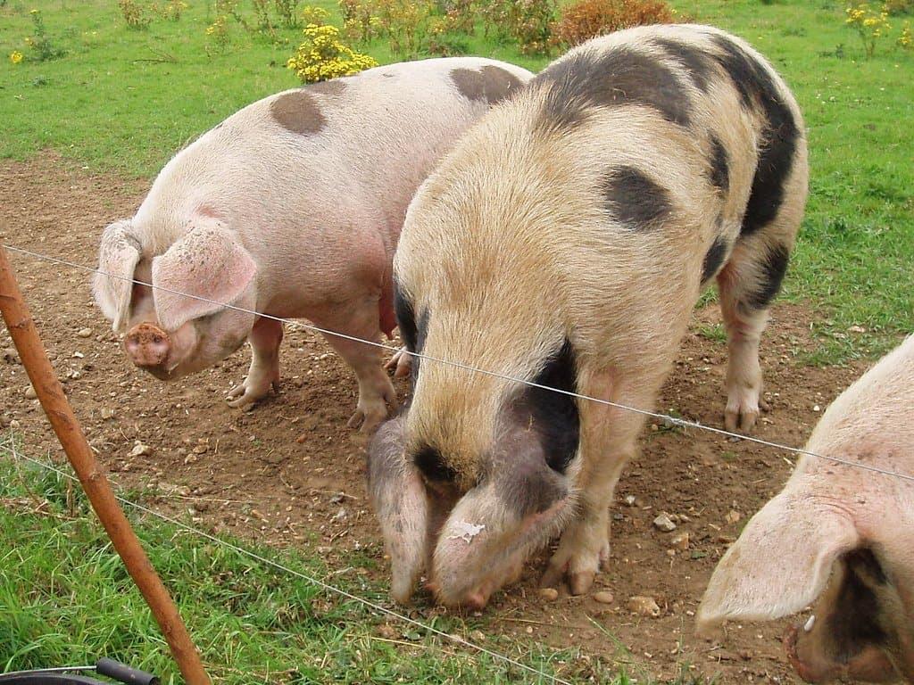 gloucester-old-spot-pig-breed
