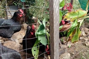 How to Keep Chickens Out of My Yard [9 Ways to Stop a Ruined Garden!]