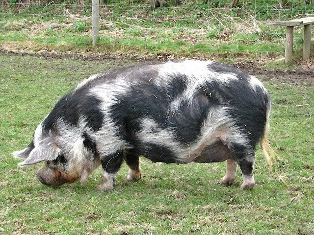 kune-kune-pig-breeds