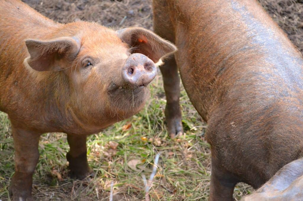 Pigs-are-social