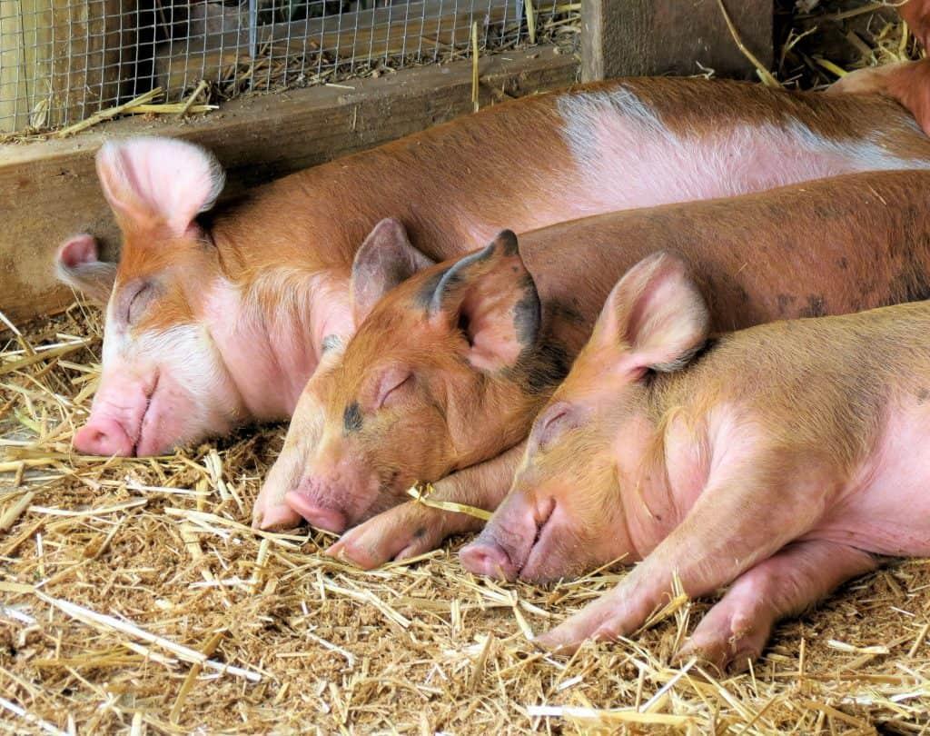 pigs-sleep-a-lot