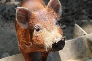 The Best Pig Breeds for Beginners and Small Farms