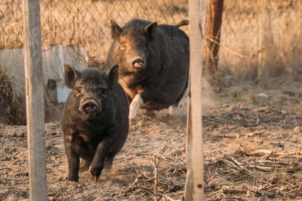 pigs-are-fast