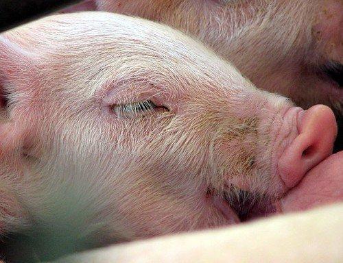 yorkshire-pig-breed