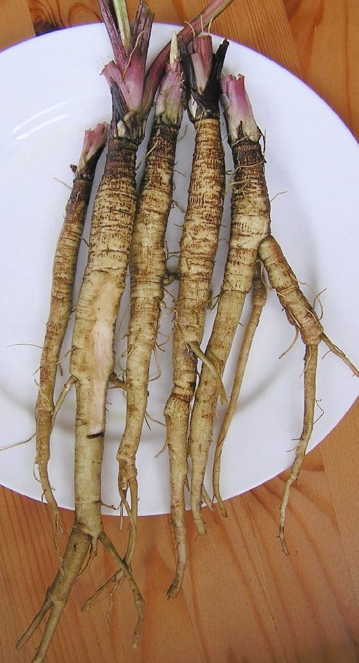 Arctium_lappa_food-forest-root-layer