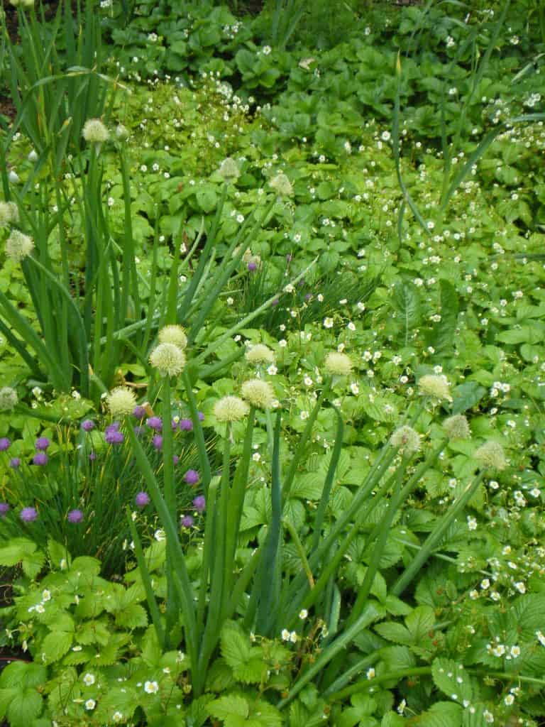 allium-plants-for-herbaceous-food-forest-layer