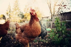 26 Facts About Backyard Chickens You've Always Wanted to Know