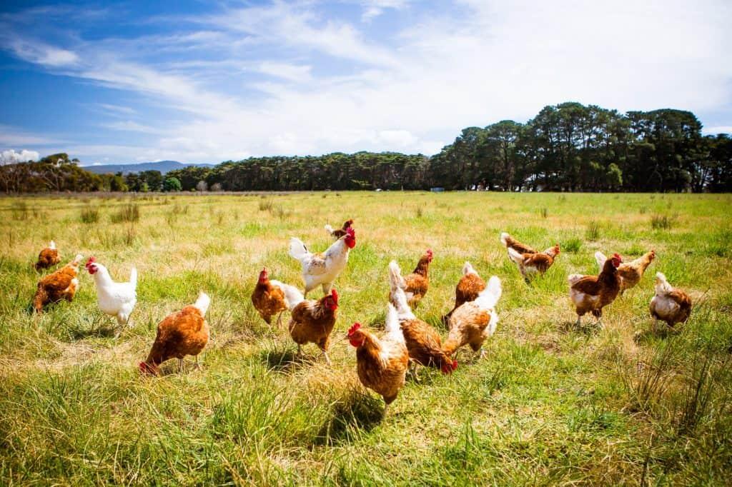 best-chicken-breeds-for-beginners