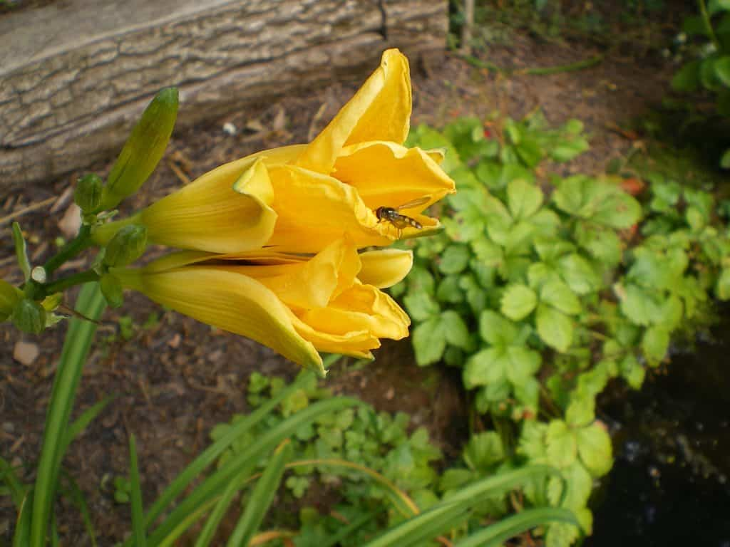 day-lilly-for-herbaceous-layer-food-forest
