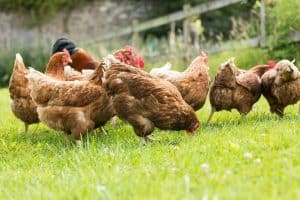 how-to-clip-a-chickens-wings-so-it-cant-fly-safety