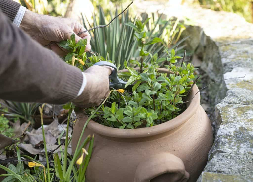 how-to-prune-mint