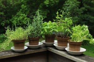 13+ Wonderful Herbs That Like Full Sun for Beginners
