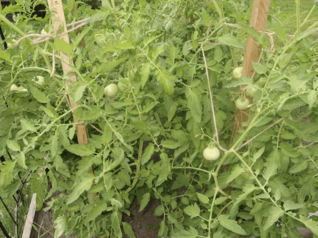 how-long-do-tomatoes-take-to-grow-from-seed