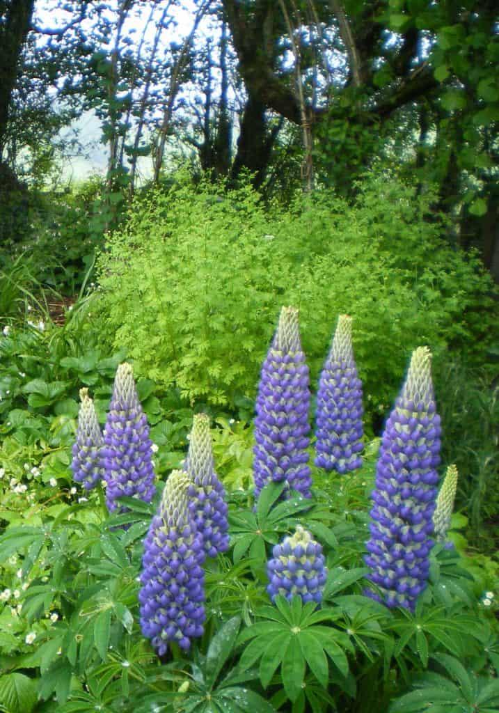 lupins-fertilize-food-forest-floor
