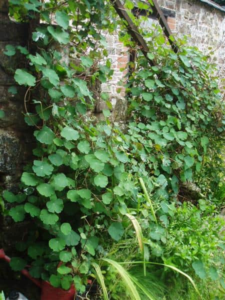 mashua-vine-food-forest-roots