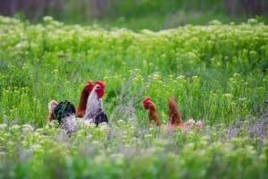 The Best Chickens for Beginners That Are Easy to Raise and Great Layers