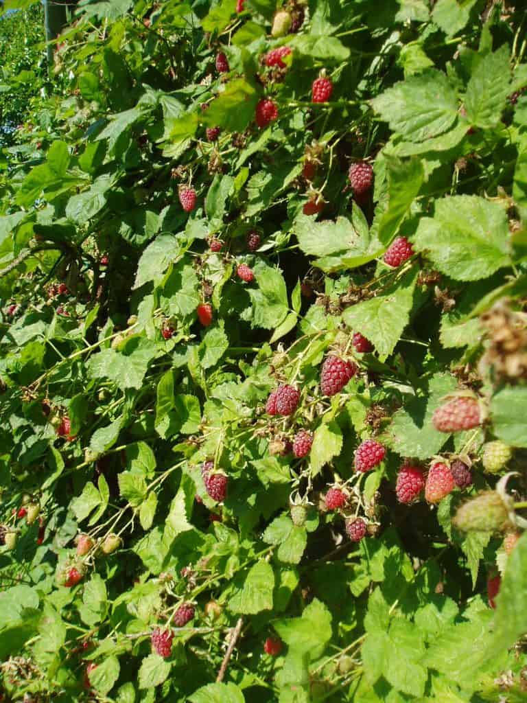 Permaculture-food-forest-loganberry-wall