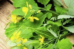 Herbs for Bruises - 7 Herbs That Will Get Rid of Bruises Fast