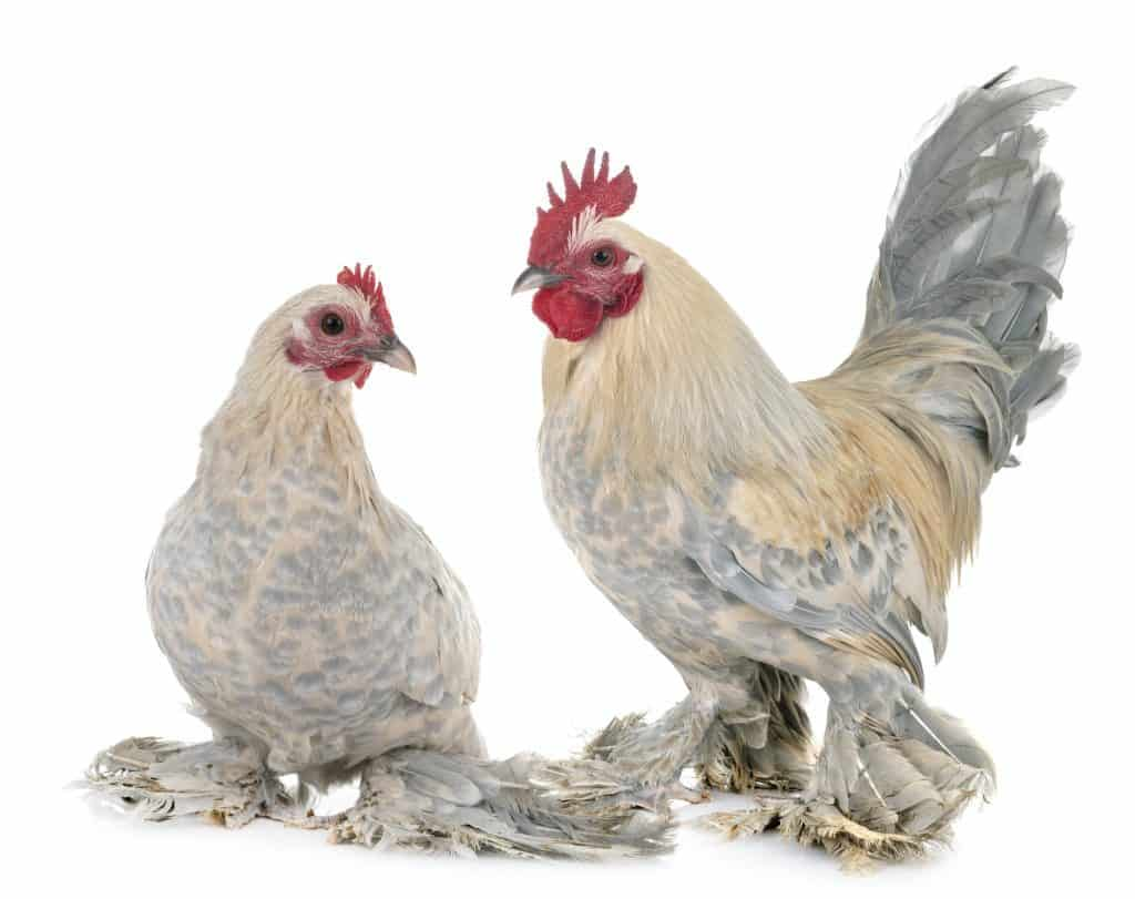 dutch-booted-bantam-with-feathered-feet
