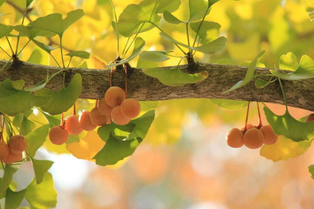 ginkgo-biloba-tree-fruit