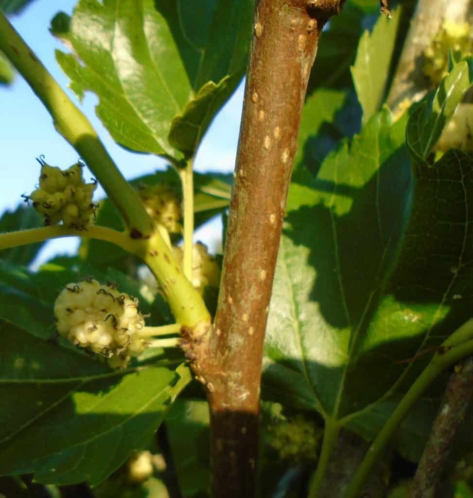 mulberry-tree-fruit