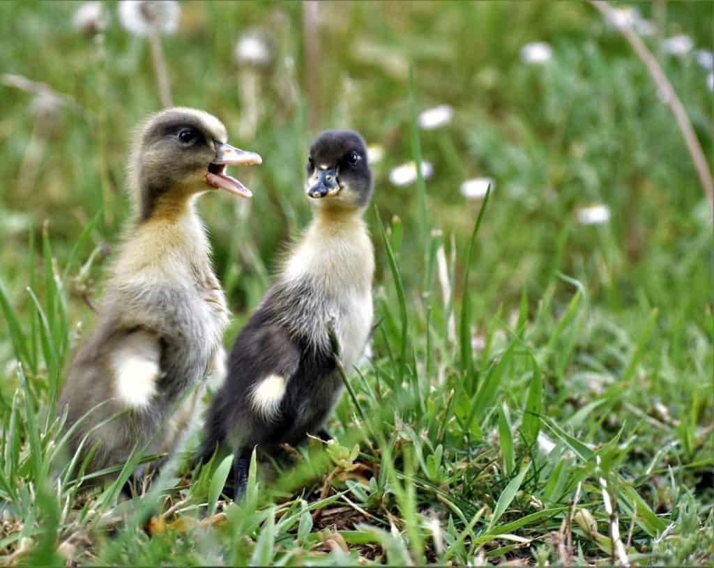 what-to-feed-ducklings