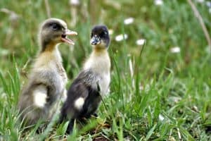 what-to-feed-baby-ducks