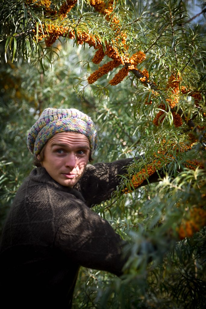 permaculture-food-forest-seabuckthorn-shrub-with-berries