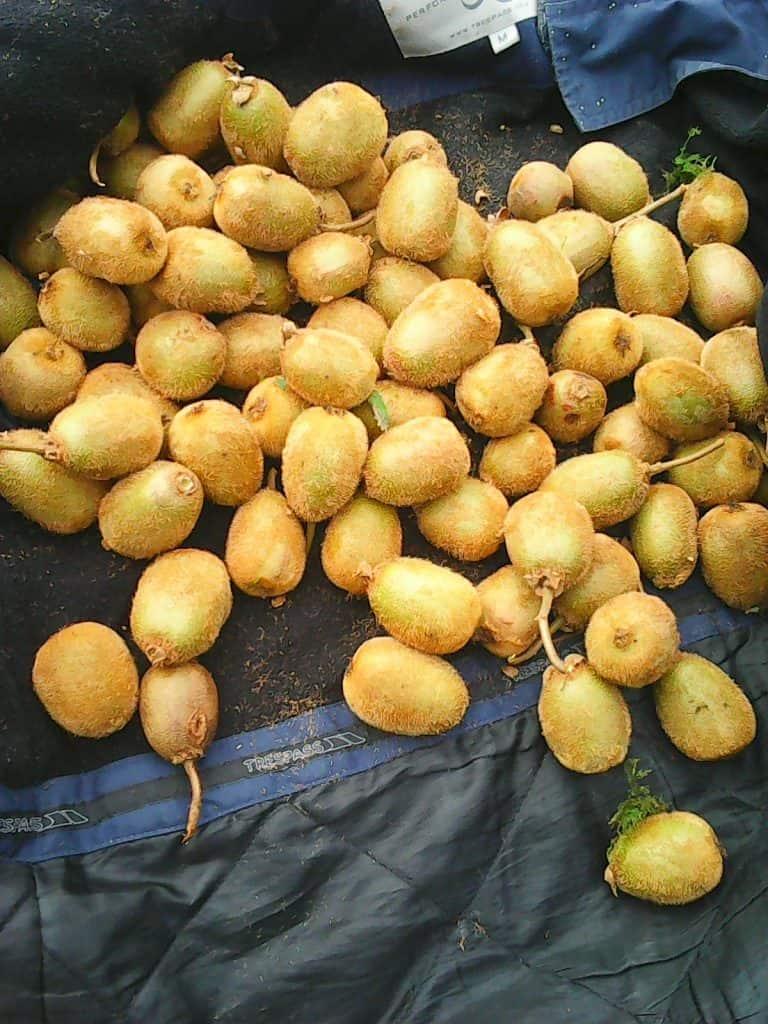 Climbed-halfway-up-alder-tree-to-harvest-climbing-kiwi-fruit