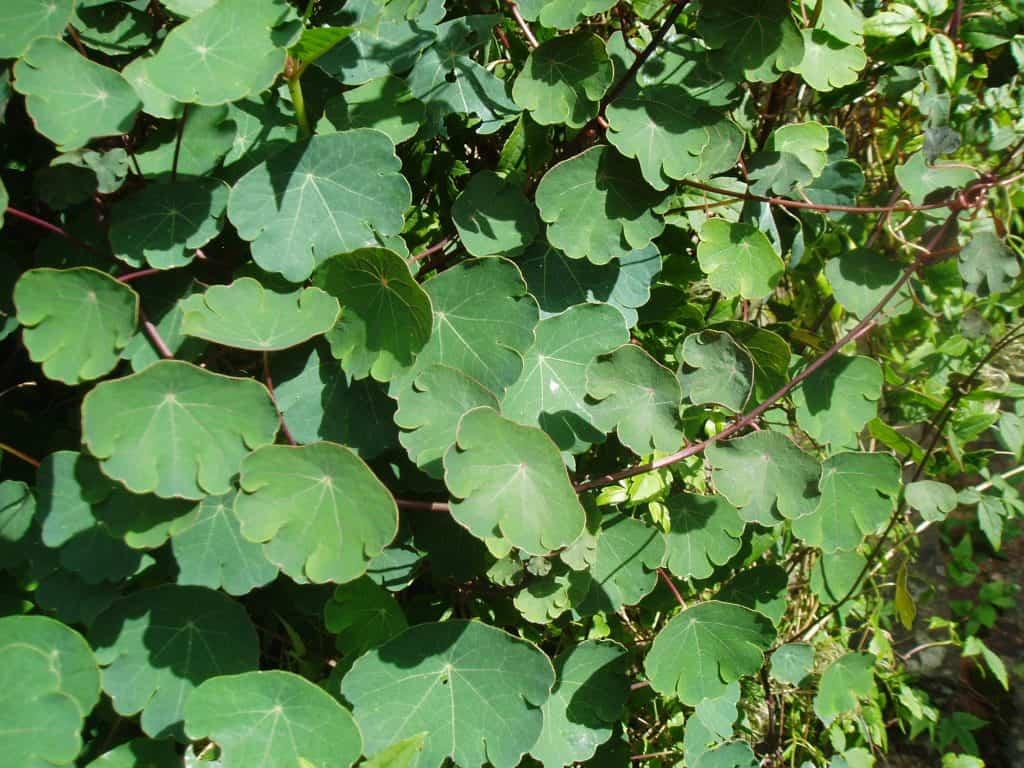 Mashua-leaves-are-among-my-favorite-perennial-salad-crops
