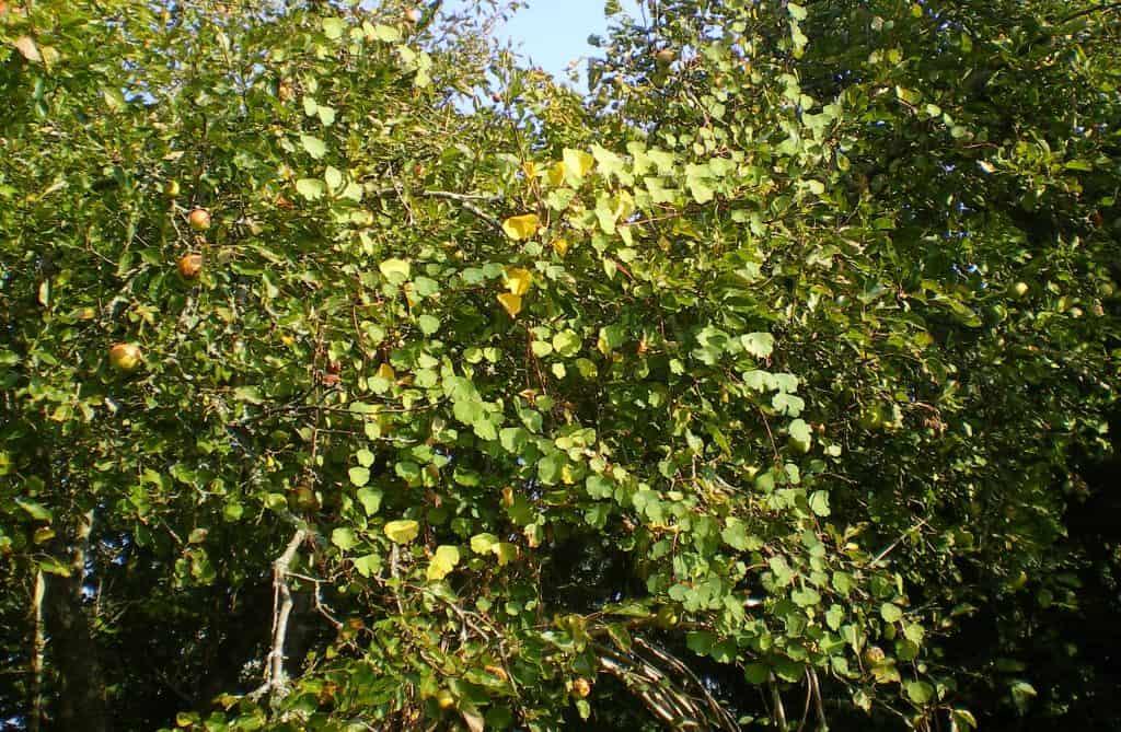 Mashua-vine-entwined-with-apple-tree