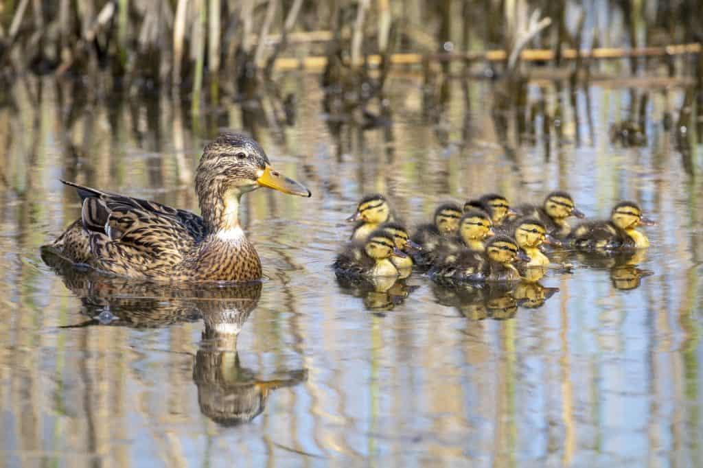 how-to-raise-baby-ducks