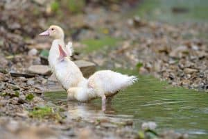 What to Feed Baby Ducks - What's the Best Food For Baby Ducks?