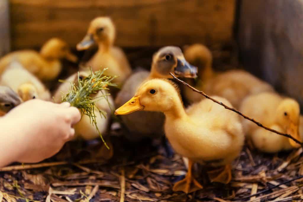 treats-for-baby-ducks