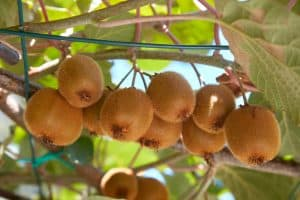 Layers of a Permaculture Food Forest Part 5: Climbing Plants