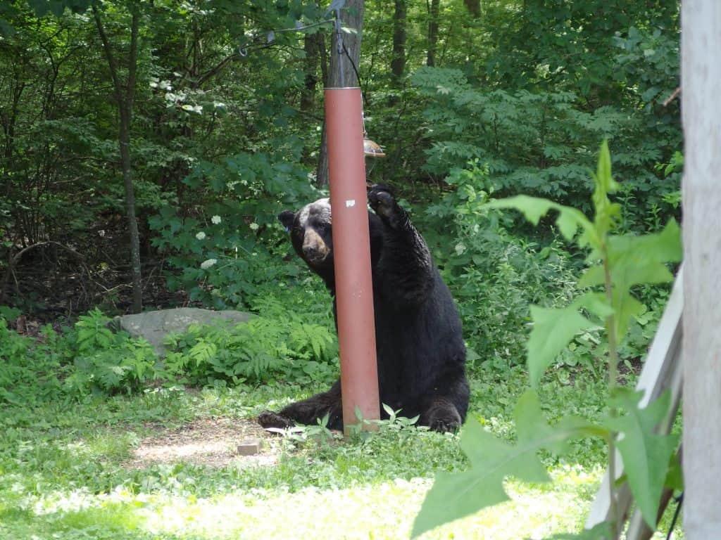 Black-bear-backyard