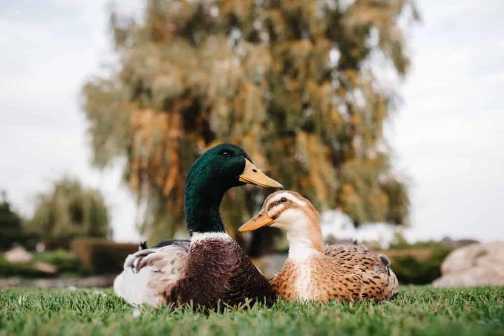 a duck and a Drake