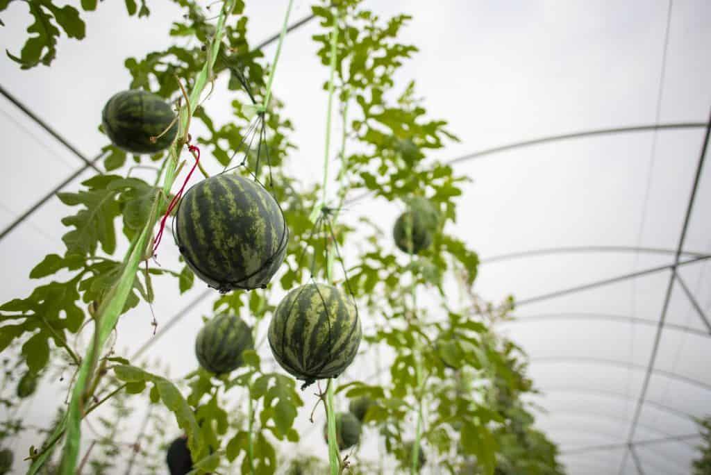 watermelon-trellis-diy-ideas