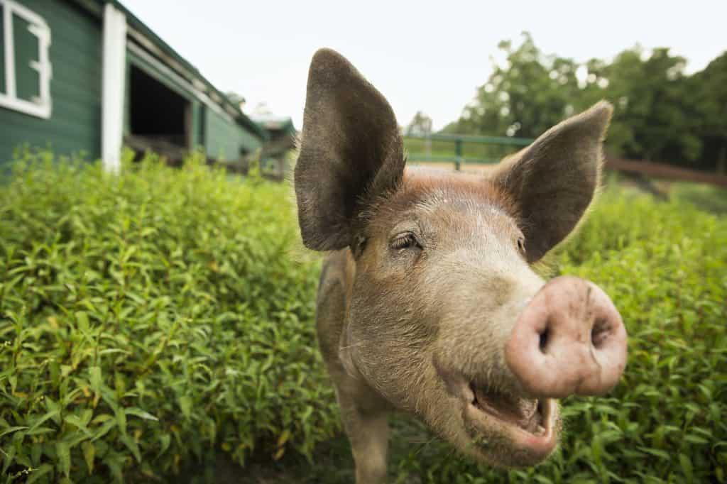 how-much-does-it-cost-to-raise-a-pig