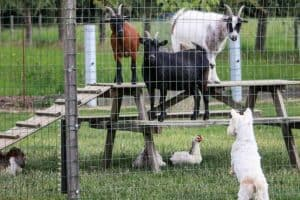 How High Should a Chicken Fence Be to Keep Chickens In and Predators Out?