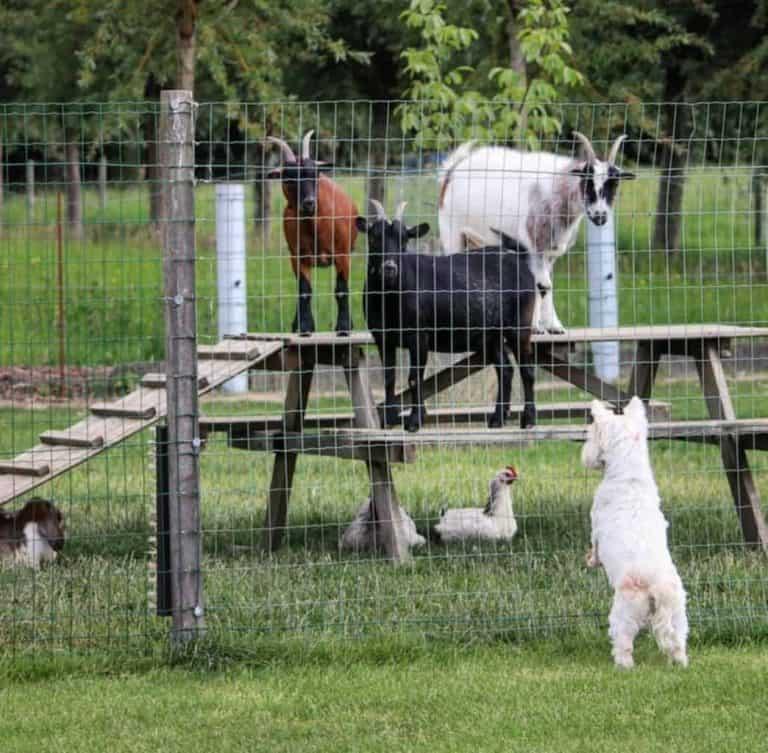 best-chicken-fence-height