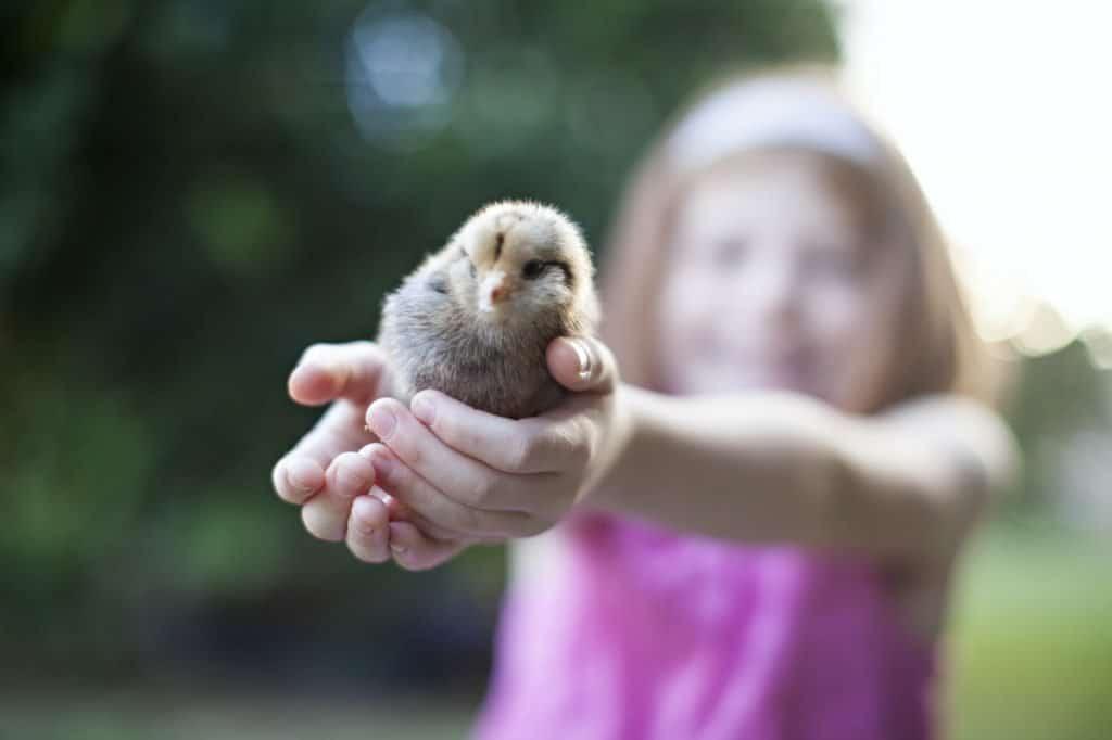 Baby-chick