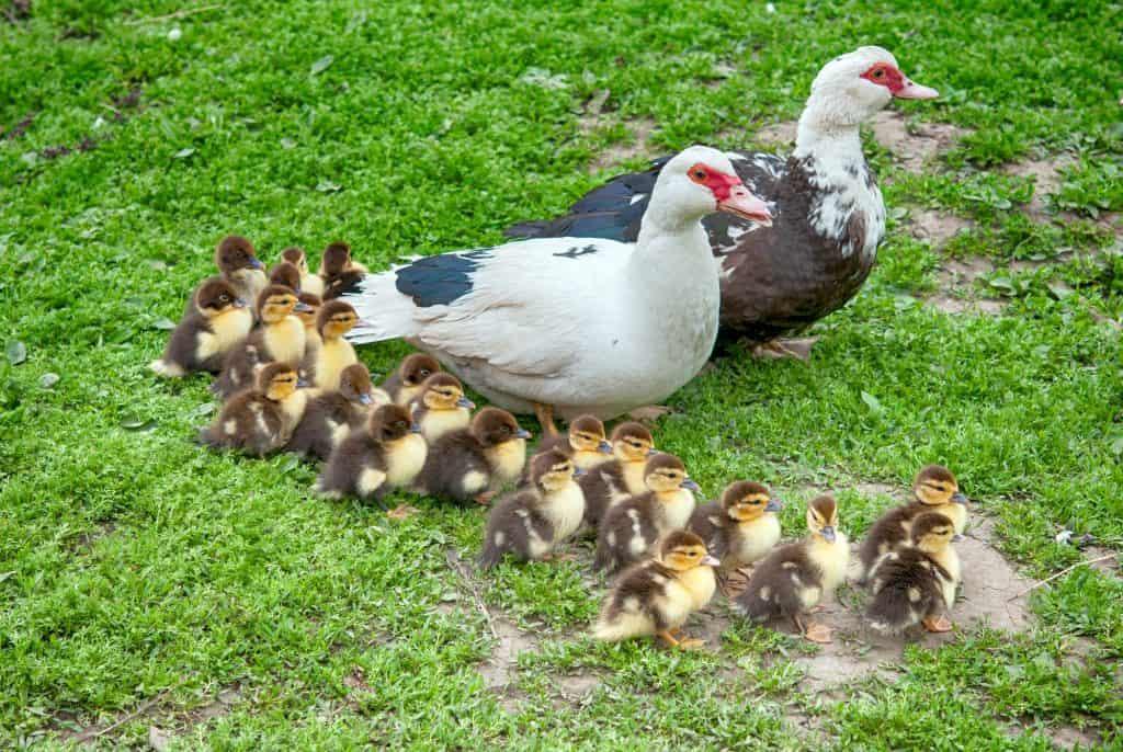 what-do-ducks-eat