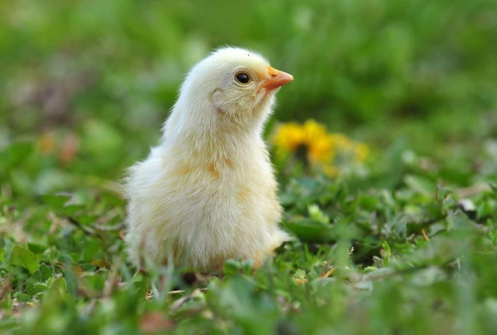 protecting-chickens-predators