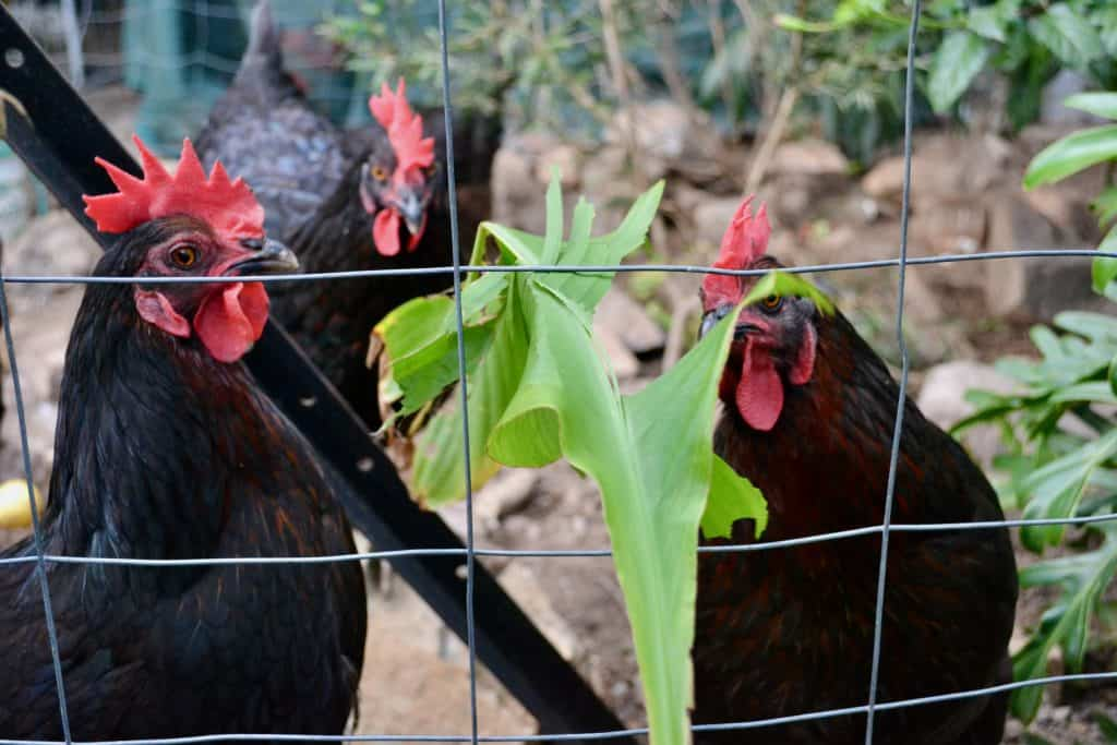 chickens-foraging-behind-chicken-fence