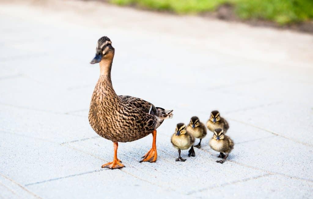 Family of ducks.